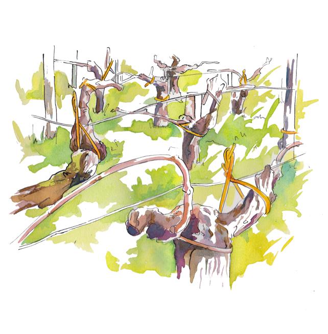 Aucoeur vigne